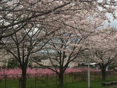 桃と桜の共演