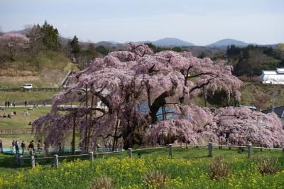 桜遠征 福島へ!三春滝桜と花見山