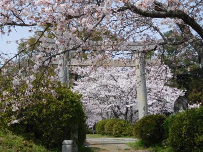 2016年 宇部市・宮尾八幡宮の桜