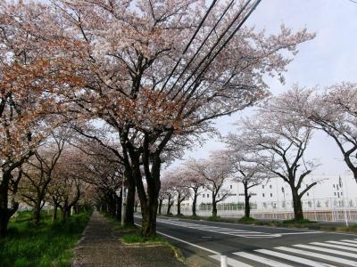 早朝ウォーキングコース沿いに咲く花達・・・④清久さくら通りの三列さくら