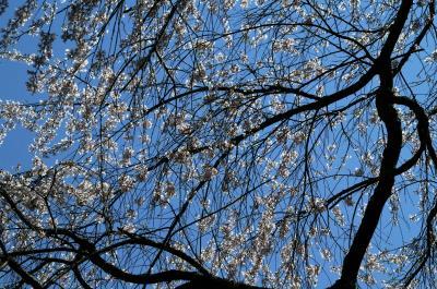 ぶらり美味なる京都旅!!吉野のヤマザクラ、京都御苑の枝垂れ桜を満喫