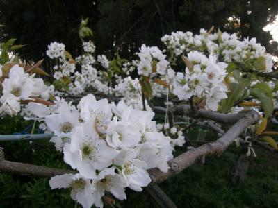 早朝ウォーキングコース沿いに咲く花達・・・⑦今年最後の桜を求めて、前夜の強風で・・・地元の特産、梨の花が満開でした