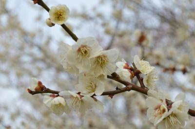 梅を求めて*枚方・意賀美神社と私市・大阪市立大学理学部附属植物園