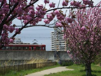 枚方市駅周辺をぶらりと八重桜とハナミズキ!2016年