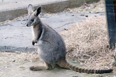 新緑のチューリップとレッサーパンダの昭和記念公園と多摩動物公園2016(3)午後からは動物園でアジアとオーストラリア圏の動物たちを目指して~シンリンオオカミからワラビーたち&シマオイワワラビーの赤ちゃんにも会えた@