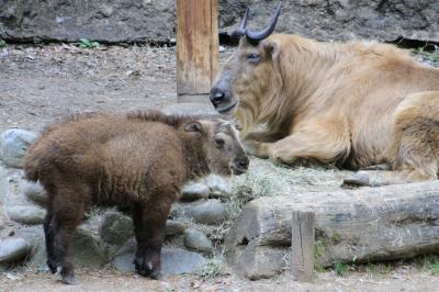 新緑のチューリップとレッサーパンダ・リレーで昭和記念公園と多摩動物公園(4)動物園でのミッションNo.1のレッサーパンダ~同居のペア3組と可愛くのんびり屋さんになったヤンヤン&ミッションNo.2のゴールデンターキンの赤ちゃん特集