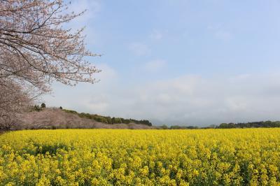やっと実現、西都原古墳の桜と菜の花を見る旅