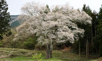 森湯谷のエドヒガン桜