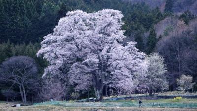 千鳥別尺の山桜2度目の逢瀬はライトアップを観ることが出来ました。