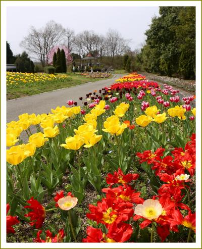 Solitary Journey [春色特別編] 春うららかな、夢空間。色鮮やかなチューリップ・アネモネが満開<備北丘陵公園花の広場>広島県庄原市