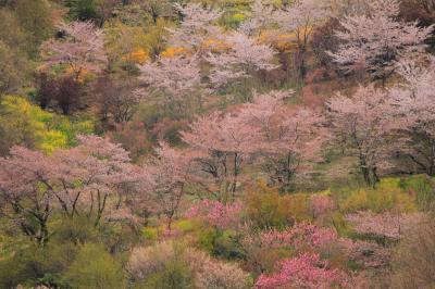 ラヴィアンさくら桜三昧の幸せ 花見山