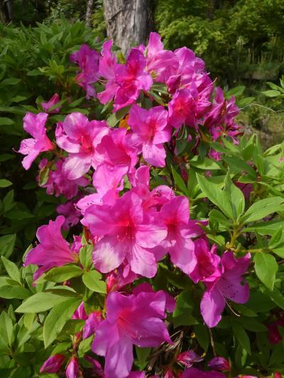 開花が間近な大倉公園の開花を待ちツツジ