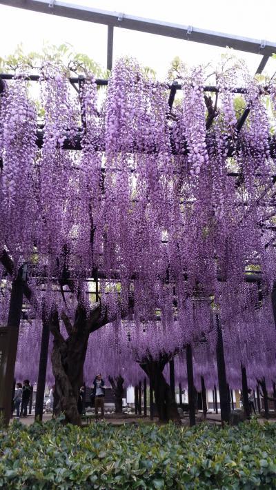 熊野の長藤まつり。