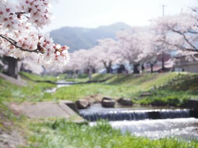 知る人ぞ知る?桜の名所~川桁・観音寺川でお花見です~