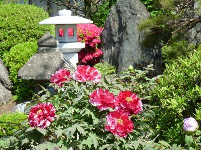 恩林寺のボタンとツツジ_2016_(群馬県・邑楽町)