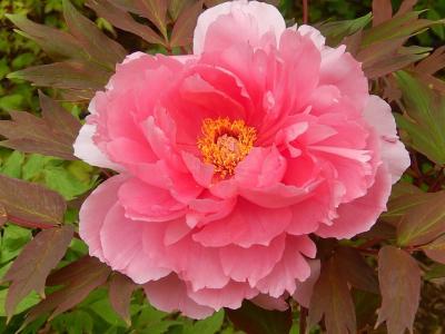 牡丹の花を見るために多聞院を訪問