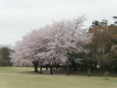 【近郊36】2016.4埼玉県農林公園の桜