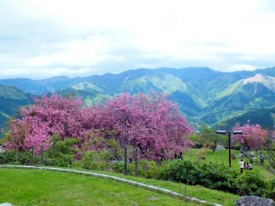 GWでも桜と菜の花を楽しめる愛媛の絶景高原