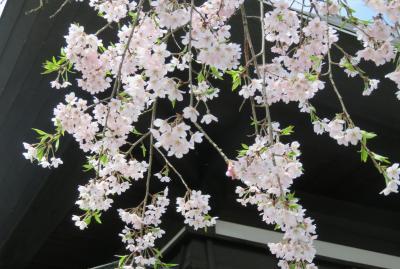 2016春、奥羽の桜巡り(14/38):4月23日(5):仙北市(5):角館公民館、枝垂桜、八重紅枝垂桜、染井吉野