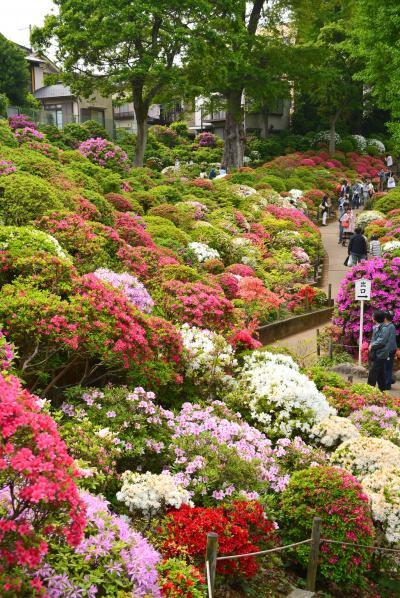 「 遅咲きが見頃! 根津神社 つつじまつり 」 2016