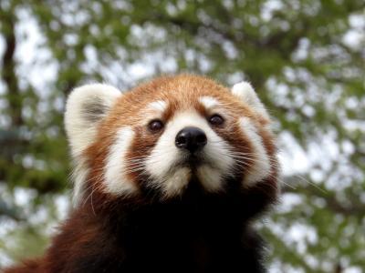 北米Redpanda紀行 Edomonton Valley Zoo 久しぶり、ママになったリナちゃん!! 完封負け寸前からの大逆転で6匹全員に会うことができました