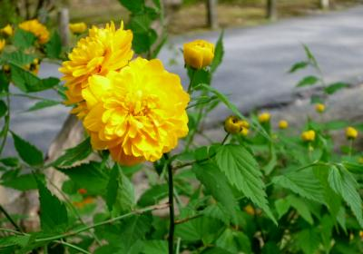 4月上旬 京都桜巡りは昼も夜も その1(京都御苑・京都御所春の一般公開)