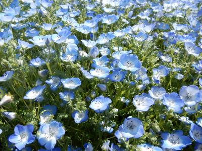 ネモフィラも咲く大宮花の丘農林公苑