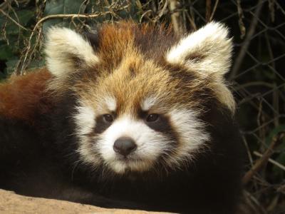 南米Panda Rojo紀行 Zoologico Nacional de Chile クリスマス生まれのリリ太君(仮称)に会いに!!