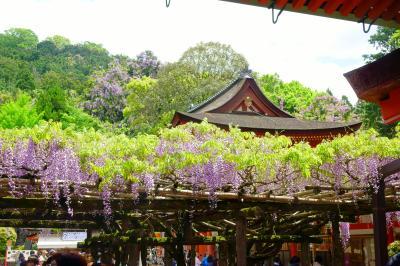 望郷三都物語(3) 二度目の正直 春日大社で満開の藤の花やJR東海CMの巫女さんも見ることができた