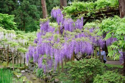 望郷三都物語(4) 「令和」で人気沸騰中! 萬葉植物園で 和歌と満開のフジを愛でつつ 萬葉の世界に浸る