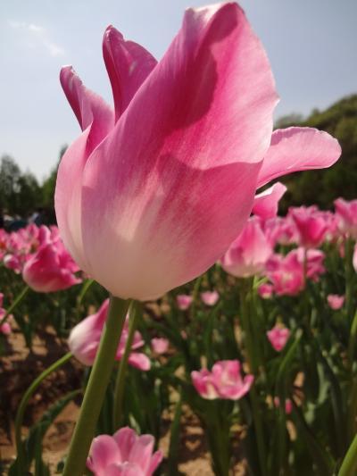 世羅高原農場 春 チューリップまつり