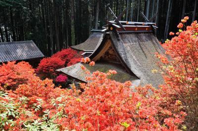 境内を真っ赤に埋め尽くす一の宮神社の霧島つつじ