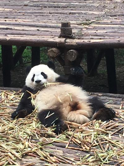 パンダと麻婆とそして猫 GW成都珍道中 その5