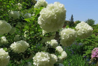 2016春、奈良のお寺の花巡り(4/17):4月30日(4):長岳寺(4):拝堂、境内のツツジ、不動明王石像、池のカキツバタ、大手毬、カラー