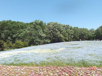 Nemophila ネモフィラの森林公園散歩