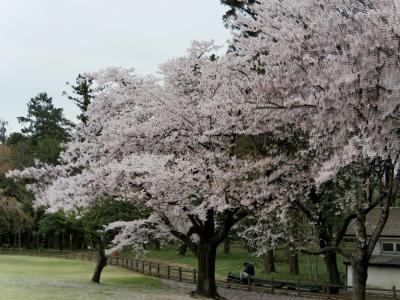 【近郊36】埼玉県農林公園の桜