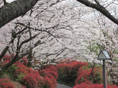 2016年4月 移動時間に桜を鑑賞(音無親水公園・飛鳥山公園)
