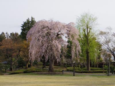 桜追いかけて津軽~三内丸山遺跡と弘前さくらまつり~③