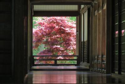 2016春、奈良のお寺の花巡り(12/17):4月30日(12):長谷寺(6):牡丹、里桜、ツツジ、大手毬、本坊大玄関、赤い新緑のモミジ