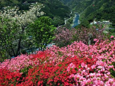 桜とツツジとシャクナゲが同時に咲く「美桜の里」
