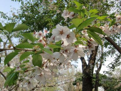 もう遅かったかな桜、続札幌散歩~中島公園・大通公園・北海道庁へ 2016