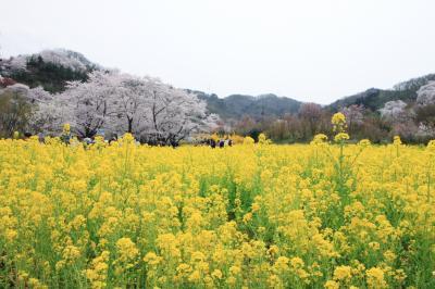 花見山へ花見撮影会