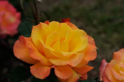 南欧風の園内に250種1万本のバラが咲き誇る 荒牧バラ園