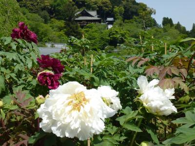 ボタンの咲く 長谷寺