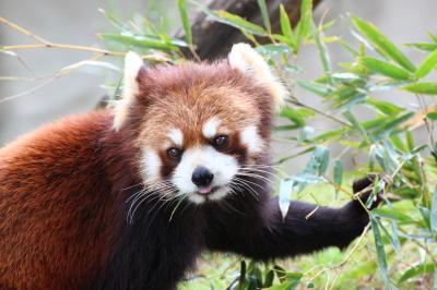 ゴールデンウィーク直後の週末のレッサーパンダ動物園2016<東北新幹線で行く仙台・八木山動物園>(2)レッサーパンダ特集(前編)笹の朝ご飯のティエンくんとクルミちゃん&午前当番のスモモちゃんは目線とシャッターチャンスをたっぷりくれるフォトジェニック・パンダ!