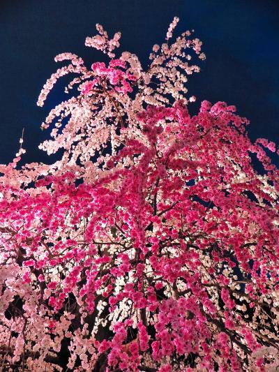 広島17 縮景園c 夜桜鑑賞 ライトアップの華 ☆65歳以上,無料優先入場で