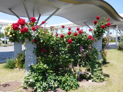2016年 山口宇部空港のバラを見に行きました。見頃でした。