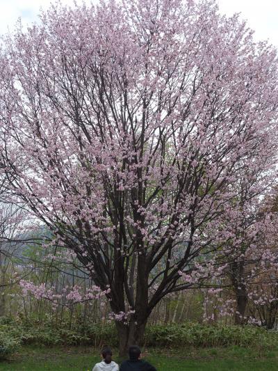 ランチのあとは,真駒内公園をお散歩。ここも桜がきれいです。