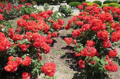 鶴舞公園の薔薇