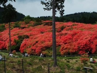 日本唯一!オンツツジの古木の大群生